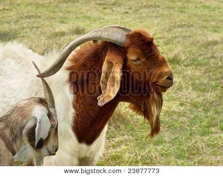 Billy Goat Portrait Rural Scene