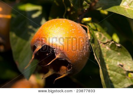 The pome of fruit of the Common Medlar