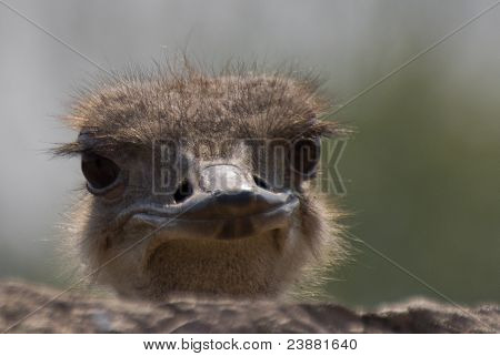 the smiling ostrich