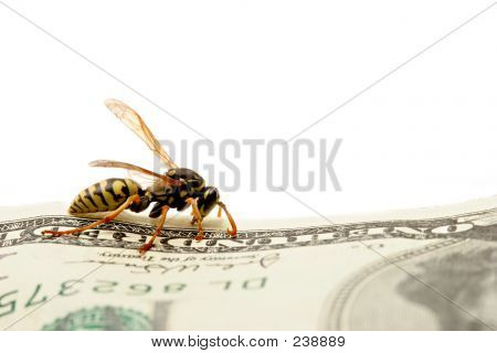 Wasp On Hundred Dollar Bill