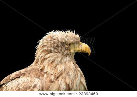 European white tailed eagle isolated on black