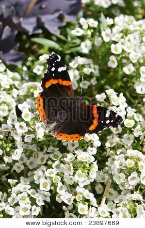 Admiral Butterfly on White Flowers