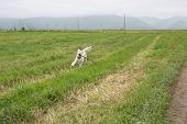 Golden Retriever Dog Running In The Field. Happy Retriever Girl With Stick Has Fun In Summer poster