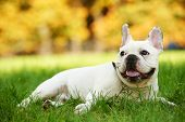 picture of french bulldog puppy  - one french bulldog dog lying on green grass at autumn background - JPG