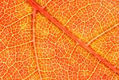 Maple Leaf Macro