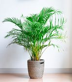 Areca Palm, Chrysalidocarpus Lutescens, In A Wicker Basket, Isolated In Front Of A White Wall On A W poster