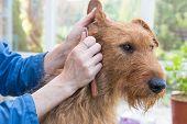 Trimming The Irish Terrier Dog Closeup. poster