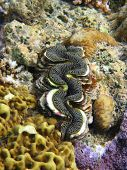 picture of mollusca  - A giant clam embedded in a shelf of coral - JPG