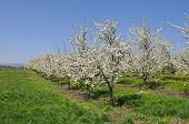 Trees In Orchards In Full Bloom. Plum Orchard Blossom In Spring. Natural Springtime Background poster