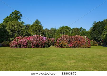 Beautiful Rhododendron Flower Bushes and Trees in a Sunny Garden