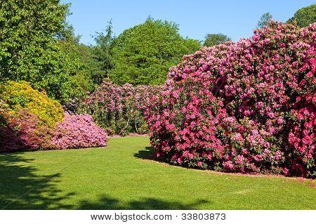 Rhododendron and Azalea Bushes in Beautiful Summer Garden