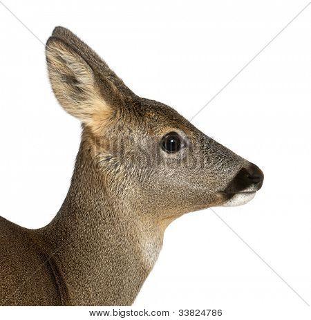 European Roe Deer, Capreolus capreolus, 3 years old, against white background