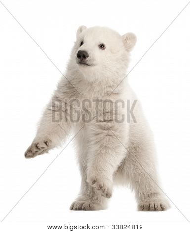 Polar Bear Cub, Ursus Maritimus, 3 Monate alt, standing against white background