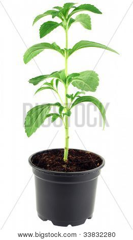Stevia Rebaudiana in the Flower Pot isolated on White Background