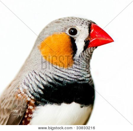 Zebra Finch, isolated on white background