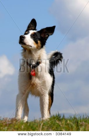 Stoic Border Collie
