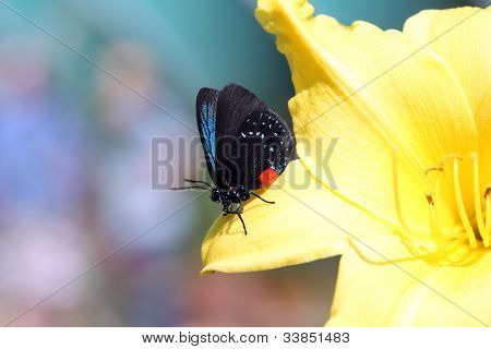 Rare Atala butterfly sitting on a stargazer lily