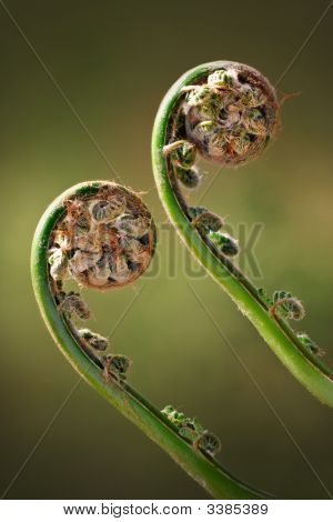 Two Green Fiddleheads On Woodland Fern In Spring