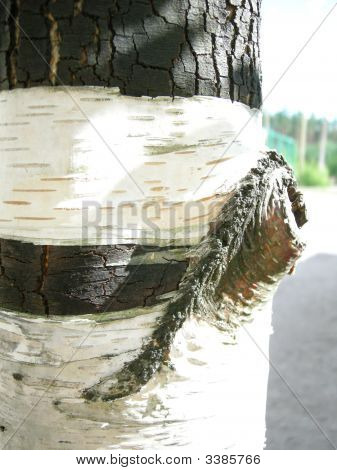 Birch Barrel
