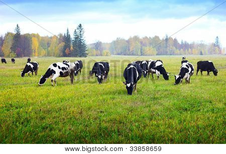 Herd of cows grazing on a green meadow with autumn forest on a background