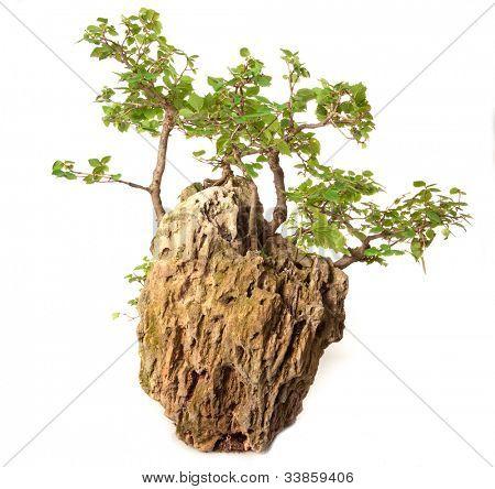 Ulmus minor bonsai isolated on white