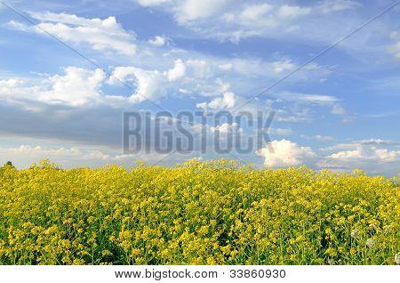Yellow Flowers Of Barbarea Vulgaris