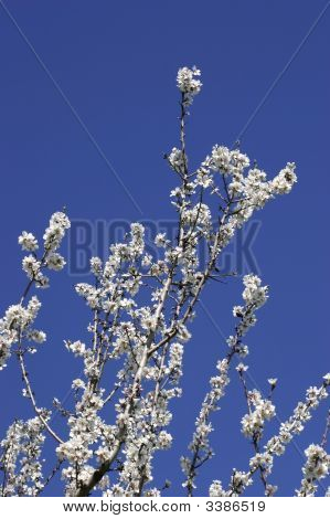Prunus Dulcis, Flowering Nonpareil Almond Tree Branches