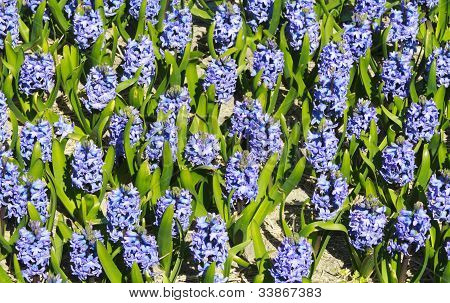 Bright Pruple Blue Hyacinths In A Field