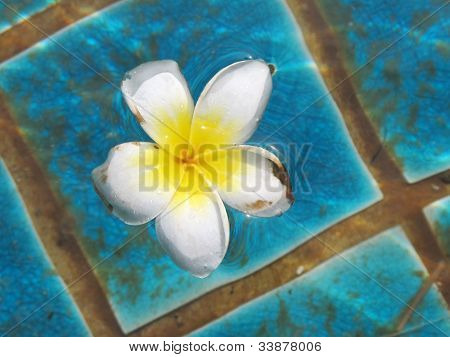 Plumeria Flower In Pool