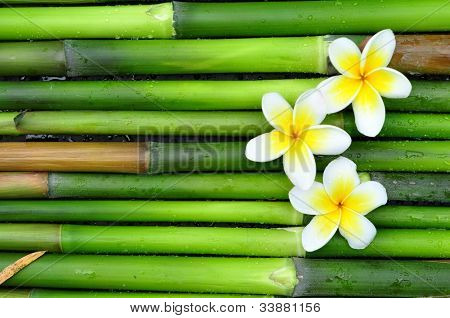Tropical white frangipani on green bamboo