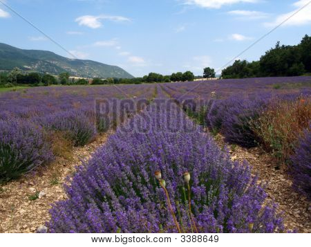 Lavender Fields For Essential Oils