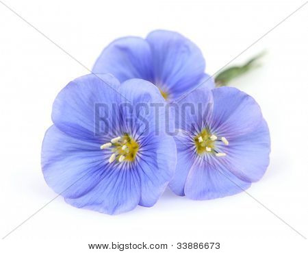 Flax flowers in closeup