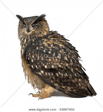 Eurasian Eagle-Owl, Bubo bubo, 15 years old, standing with eyes closed against white background