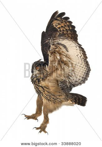 Eurasian Eagle-Owl, Bubo bubo, 15 years old, flying against white background