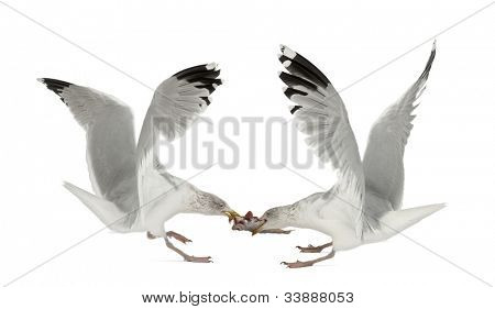 European Herring Gulls, Larus argentatus, 4 years old, fighting over fish flying against white background
