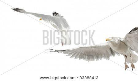 European Herring Gulls, Larus argentatus, 4 years old, flying against white background