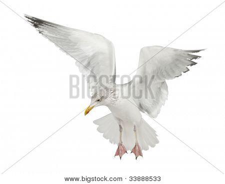 European Herring Gull, Larus argentatus, 4 years old, flying against white background