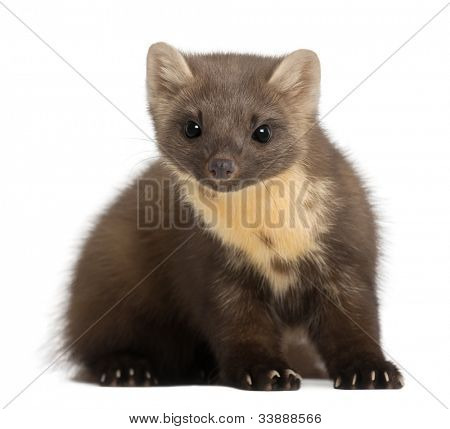 European Pine Marten or pine marten, Martes martes, 4 years old, sitting against white background