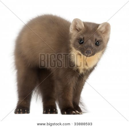 European Pine Marten or pine marten, Martes martes, 4 years old, standing against white background