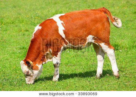 Cute calf cow on a rural meadows.