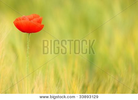 Red poppy (Papaver rhoeas) with out of focus poppy field in background. The petals from off ancient past use in the treatment lung diseases, and as a sedative.