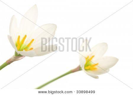 Azucenas blancas sobre un fondo blanco. Zephyranthes candida