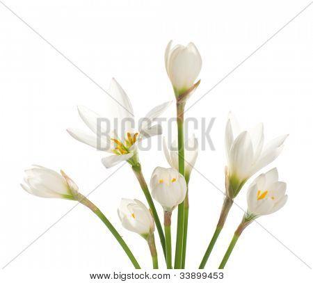 un fragmento de Manojo de lirios blancos sobre un fondo blanco. Zephyranthes candida