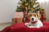 Adorable Little Puppy Of Jack Russell Terrier As Holiday Present. poster