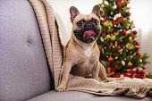 Adorable Pet At Home With Winter Holiday Season Decorations poster