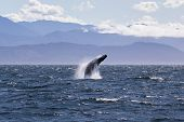 Humpback Whale Breaching Off The Coast Of Victoria British Columbia. (near The San Juan Islands In T poster