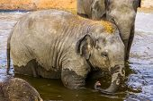 Portrait Of A Asian Elephant Calf Bathing In The Water, Endangered Animal Specie From Asia poster