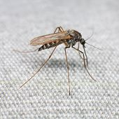 stock photo of gnats  - Mosquito trying to bite through a matter - JPG