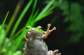 Green Frog On The Glass. Beautiful And Cute Amphibian poster