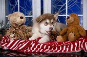 Puppy New Years puppy Alaskan Malamute, Christmas dog poster